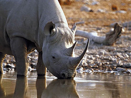 Vietnamese pleads guilty to possession of 8 rhino horns | Rhino poaching | Scoop.it