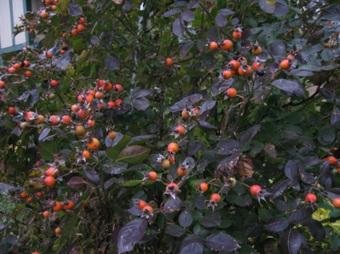 When Roses Go Dormant | Garden Style | Scoop.it