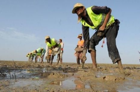 Pakistan breaks India's record mangroves plantation | Panos South ... | Pakistan Needs More Trees | Scoop.it