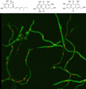 Natural fungal products could offer potential Alzheimer's therapy | Natural products | Scoop.it