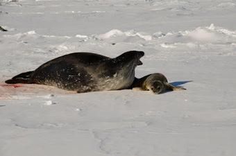 Mireille au pays des manchots : Les petits nouveaux #phoque #antarctique #banquise #DDU #TAAF   Arctique et Antarctique   Scoop.it