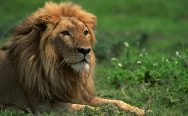 Why Are African Lions Disappearing? | Wildlife Trafficking | Scoop.it