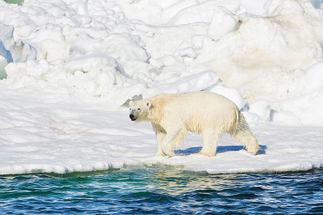A Fitbit for Polar Bears Reveals Their Struggle to Survive | Nature Animals humankind | Scoop.it