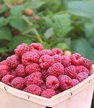 Small Fruits & Berries 101 | Gardener's Life | Scoop.it