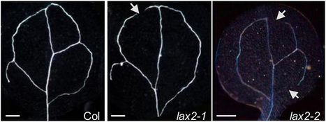 Plant Cell: AUX/LAX family of auxin influx transporters | Plant Biology Teaching Resources (Higher Education) | Scoop.it