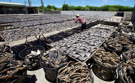 Nations Consider Protecting Sharks as 100 MILLION Die Each Year - Just For Their Fins | OUR OCEANS NEED US | Scoop.it