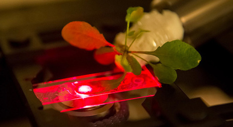 MIT's bionic plants could be used as energy factories and sensors | Vertical Farm - Food Factory | Scoop.it