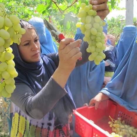 In Afghanistan, USAID program helps grape farmers bear profitable fruit, but troubles loom | Economics of Developing Countries (Econ 360) | Scoop.it