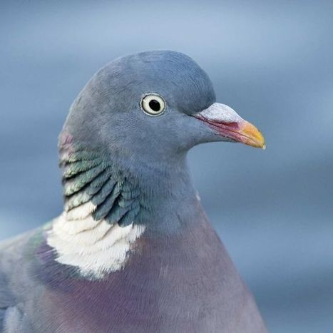 'Protein compass' may explain how pigeons find their way home | De Natura Rerum | Scoop.it