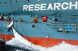 Anti-whalers back on offensive - The Mercury | The Australian government should oppose Japanese whaling in Antarctica. | Scoop.it