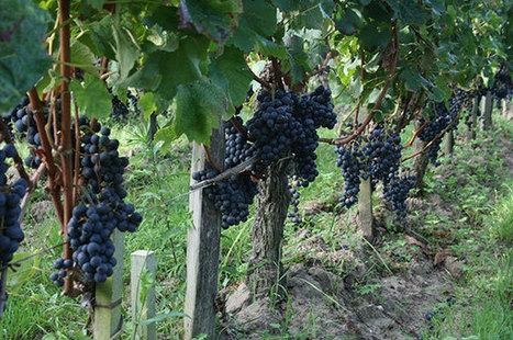 Bordeaux's yield riddle   Vitabella Wine Daily Gossip   Scoop.it