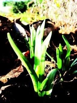 Les Jonquilles ou Narcisses | Côté Jardin | Scoop.it