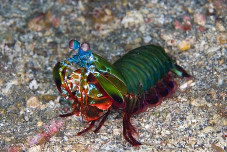 La massue de la crevette-mante | EntomoScience | Scoop.it