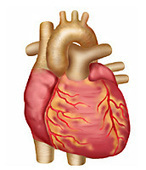 Your Heart & Circulatory System | Human Body Systems | Scoop.it