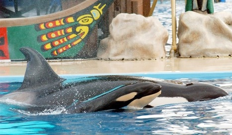 SeaWorld Killer Whale 'Too Depressed To Feed Her Calf' - The Inquisitr | Orca Whales in the Wild | Scoop.it