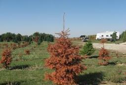 Christmas trees suffer through drought | Harvest Public Media | Food Facts & Stories | Scoop.it
