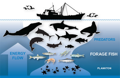 VIDEO: Forage Fish Key to a Healthy Ocean Food Web - Going, Going.... | OUR OCEANS NEED US | Scoop.it