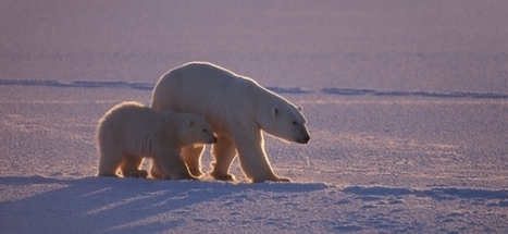 Welcome! | Polar Bears International | Introduce new course in schools called COMPASSION | Scoop.it