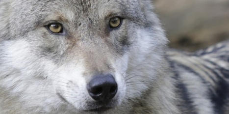 Tuer le loup ? L'Assemblée nationale dit oui | Tremblements de sciences | Scoop.it