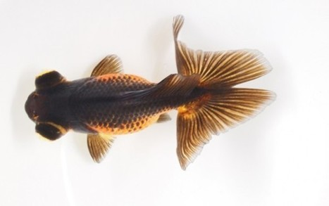ScienceShot: How Some Goldfish Got Two Tails | Science and Nature | Scoop.it