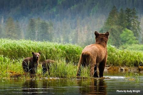 Study suggests grizzly bear hunts are threatening their numbers in B.C. | Hunting | Scoop.it