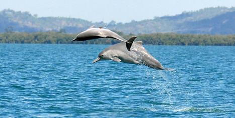 PHOTO. Une nouvelle espèce de dauphin découverte en Australie - TF1 | Nature & Civilization | Scoop.it
