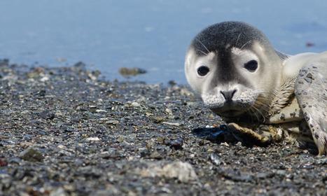 Vendée: sauvetage d'un bébé phoque sur l'île de Noirmoutier | Zones humides - Ramsar - Océans | Scoop.it