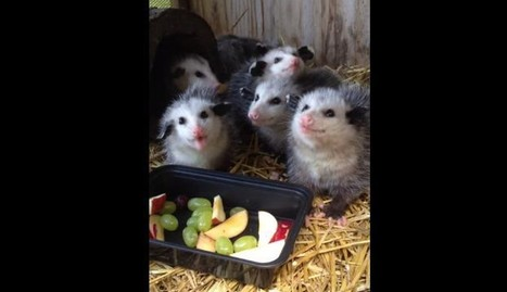Rescued Baby Opossums Munching On Fruit Salad Are Completely Charming | Nature Animals humankind | Scoop.it