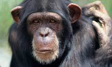 Chimps and orangutans may experience midlife crises, say scientists | Daily Magazine | Scoop.it
