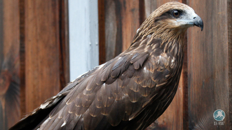 A black-eared kite overcomes fears, flies free | Oceans and Wildlife | Scoop.it