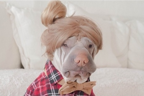 Paddington, the shar pei canine is so lovable it harms | picturescollections | Scoop.it