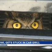 Amazing Story About Owl Stuck in Florida Woman's Car Grill Yields Amazing Animated GIF | FloridaNews | Scoop.it