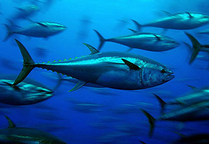 Big trouble for #BluefinTuna ~ Fishupdate.com ~ Being caught B4 can #Reproduce ! | Rescue our Ocean's & it's species from Man's Pollution! | Scoop.it