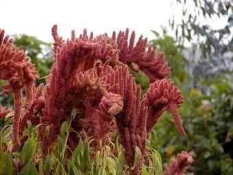 AMARANTO, un cereal que destruye los Transgencicos   amaranta   Scoop.it