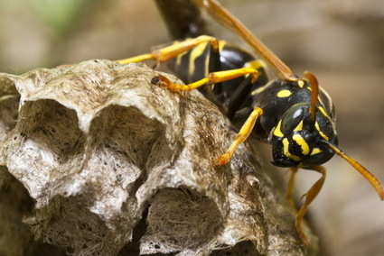 How to Get Rid of Wasps and Hornets in Summer | Pest Inspection and Treatment in NC | Scoop.it