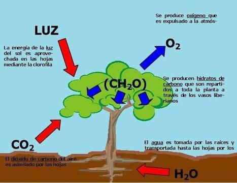 Definición y descripción del proceso de Fotosíntesis | Tecnología Bachillerato | Scoop.it
