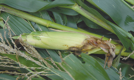 Disease hits Kenya maize expectations | MAIZE | Scoop.it