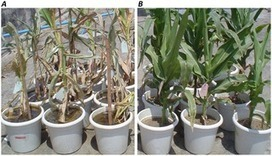 PLOS ONE: Genome-Wide Expression of Transcriptomes and Their Co-Expression Pattern in Subtropical Maize (Zea mays L.) under Waterlogging Stress | Plant Breeding and Genomics News | Scoop.it