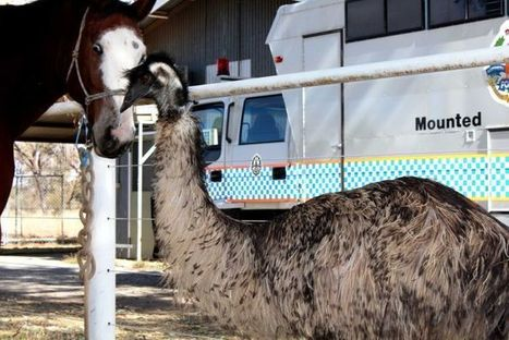 Red Centre emu thinks it is a horse | this curious life | Scoop.it