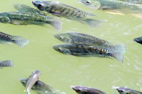Preventing Fish Disease in Aquaponics   Vegetable gardening   Scoop.it