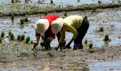 Changer la culture du riz pourrait impacter le réchauffement climatique | Nourrir la planète... autrement | Scoop.it