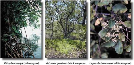 Mangrove Ecology | Mangrove Swamp | Scoop.it