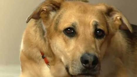 Service dogs help military veterans cope with PTSD - Manitoba - CBC News | Veteran PTSD | Scoop.it