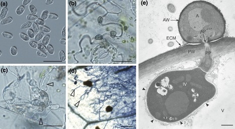 New Phytologist: Comparative genomic and transcriptomic analyses reveal the hemibiotrophic stage shift of Colletotrichum fungi (2012) | Plant Pathogenomics | Scoop.it