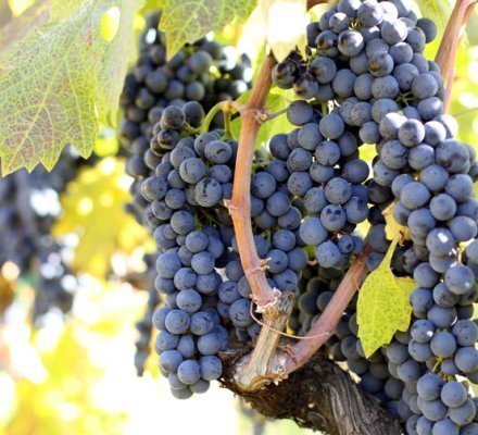 Le Primitivo (Zinfandel) peut désormais être planté en France | Articles Vins | Scoop.it