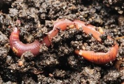 Beyond Pesticides Daily News Blog » Nanoparticles Found To Be Toxic to Earthworms | Nanotechnology & Health | Scoop.it