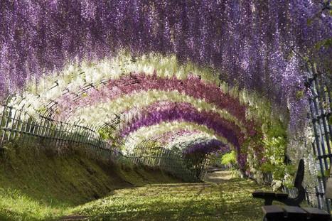 Túnel de flores de glicina en Japón | Disfrutando del Arte | Scoop.it