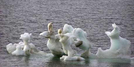 Faudra-t-il nourrir les ours polaires pour sauver l'espèce?   Biodiversité & Relations Homme - Nature - Environnement : Un Scoop.it du Muséum de Toulouse   Scoop.it