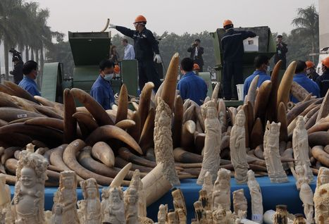 China destroys 6 tons of illegal ivory - Fox News | Practice | Scoop.it