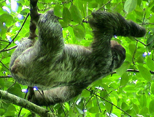 Ceiba Foundation - Sloths: Chew Your Food Slowly | Anatomy | Scoop.it